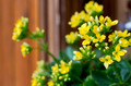 Yellow kalanchoe - PhotoDune Item for Sale