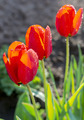 Three red tulips - PhotoDune Item for Sale