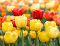 Yellow and red tulips - PhotoDune Item for Sale