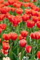 Spring red tulips - PhotoDune Item for Sale