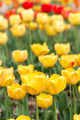 Yeloow tulips at spring - PhotoDune Item for Sale