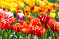 Colorful tulip field - PhotoDune Item for Sale
