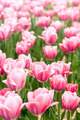 Pink tulips in garden - PhotoDune Item for Sale