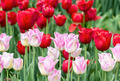 Pink and red tulips - PhotoDune Item for Sale