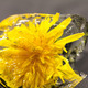 yellow dandelion in the ice - PhotoDune Item for Sale