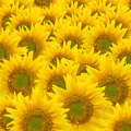 Sunflower background - PhotoDune Item for Sale