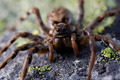 The Portuguese Tarantula - PhotoDune Item for Sale