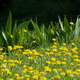 Dandelions and grass. - PhotoDune Item for Sale