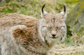 Eurasian lynx, Lynx lynx - PhotoDune Item for Sale