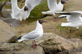 Black-headed gulls, Chroicocephalus ridibundus - PhotoDune Item for Sale