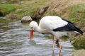White stork at lake (Ciconia ciconia) - PhotoDune Item for Sale