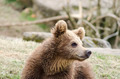 Young brown bear - PhotoDune Item for Sale