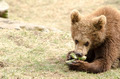 Young brown bear eating - PhotoDune Item for Sale
