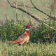Ring-necked Pheasant - PhotoDune Item for Sale