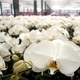 Large Commercial Orchid Farm - PhotoDune Item for Sale