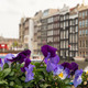 Colourful Flowers and Amsterdam typical Buildings, Netherlands - PhotoDune Item for Sale