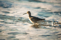 Willet wading through the ocean foam - PhotoDune Item for Sale