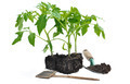 tomato plants - PhotoDune Item for Sale