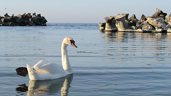 White Swan In Sea Golf