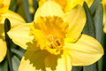 Daffodils closeup - PhotoDune Item for Sale