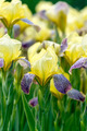 Yellow irises in garden - PhotoDune Item for Sale