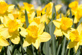 Yellow spring narcissus - PhotoDune Item for Sale