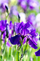Blue flag iris - PhotoDune Item for Sale