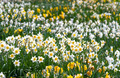 Spring daffodils - PhotoDune Item for Sale
