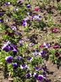 Heartsease flowers 2 - PhotoDune Item for Sale