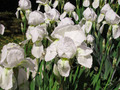 White gladioli flowers 2 - PhotoDune Item for Sale