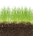 green grass in soil isolated on white background - PhotoDune Item for Sale