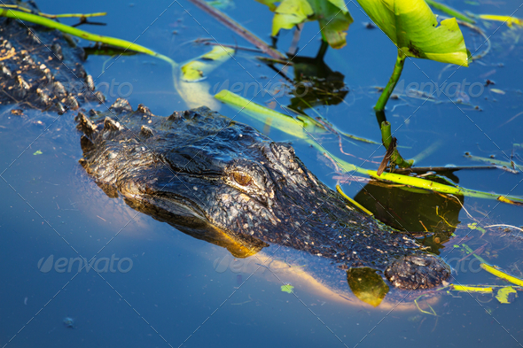Alligator - Stock Photo - Images
