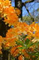 Fragrant orange azalea plant - PhotoDune Item for Sale