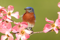 Eastern Bluebird - PhotoDune Item for Sale