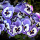 Pansies blue flowers in spring - PhotoDune Item for Sale