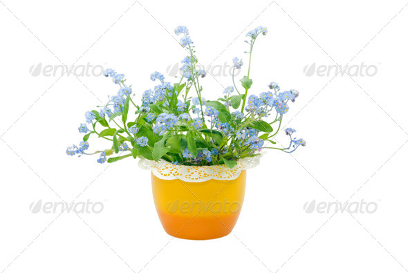 Forget-me-not - Stock Photo - Images