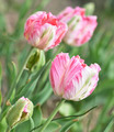 Pink Tulips - PhotoDune Item for Sale