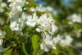 White Butterfly in the Flowers of Apple Tree - PhotoDune Item for Sale