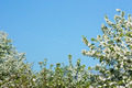 Apple Trees Framing the Sky - PhotoDune Item for Sale
