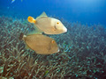Halfmoon triggerfishes - PhotoDune Item for Sale