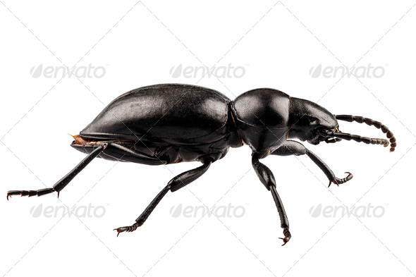 Tentyria peiroleri - Stock Photo - Images