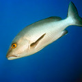 Tropical fish Twinspot Snapper - PhotoDune Item for Sale