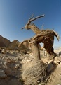 Dry tree in the desert in the shape of a walking man with horns - PhotoDune Item for Sale