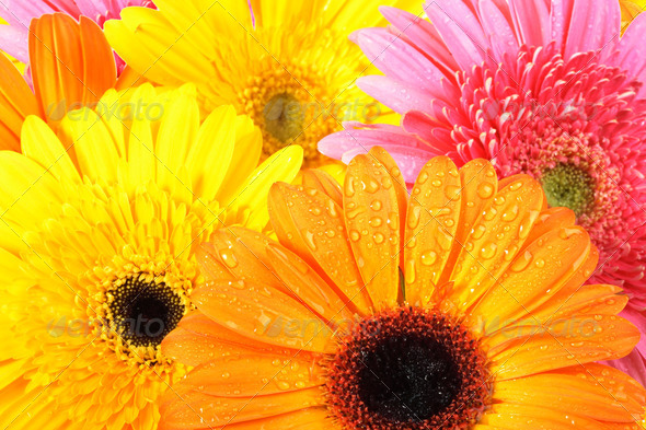 Abstract Background Of Pink And Orange Flowers With Dew Close Up Yellow