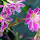 Saxifraga Succulent Flower - PhotoDune Item for Sale