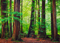 Redwood Forest - PhotoDune Item for Sale