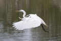Great Egret - PhotoDune Item for Sale