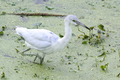 Little Blue Heron - PhotoDune Item for Sale