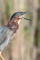 Green Heron - PhotoDune Item for Sale