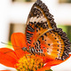 Male leopard lacewing butterfly - PhotoDune Item for Sale